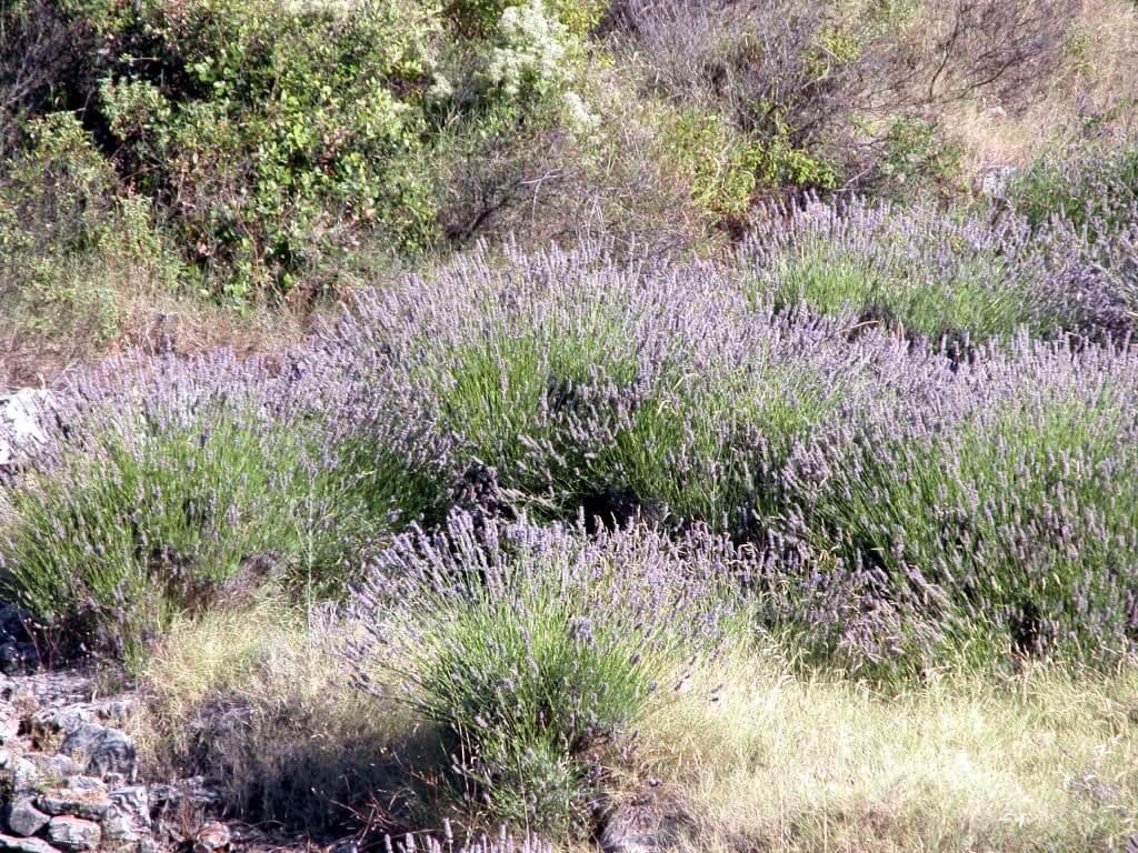 Wilder Lavendel in Kroatien Bild Margareta Ahrer